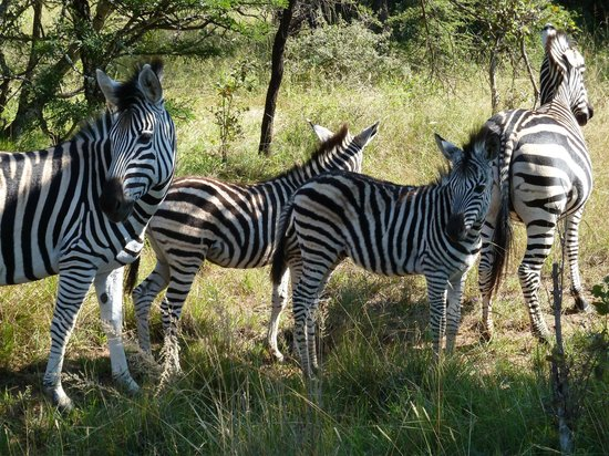 Ant's Hill & Ant's Nest : zebra on bush ride