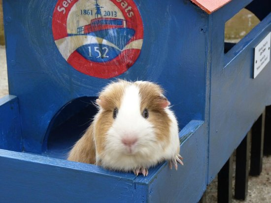Guinea Pig village at Aldingbourne Country Centre