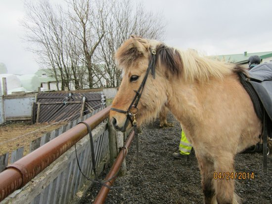 Islenski Hesturinn, The Icelandic Horse - Riding Tours: Gaukur the horse