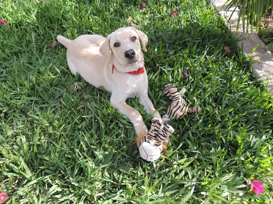 Bed and Breakfast Villa Riviera: B&B resident puppy Diesel at 3 months... He's a labrador/retriever and loves playing fetch