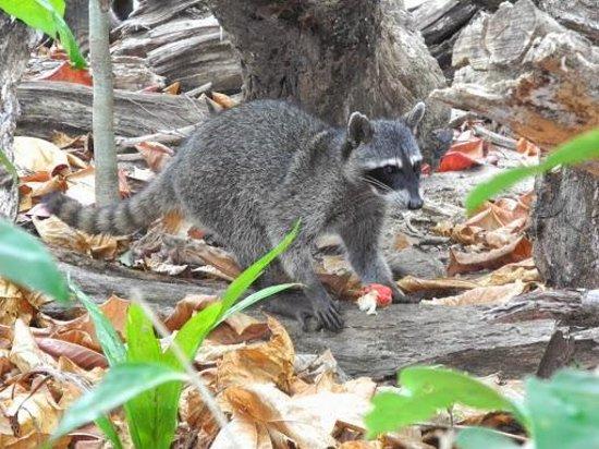Playa Manuel Antonio: Raccoon