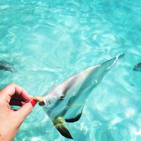 Four Seasons Resort Bora Bora: Feeding bread to fish in the hotel's lagoon
