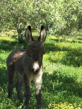 Agriturismo Nurazzolas: 4 Tage altes Eselfohlen