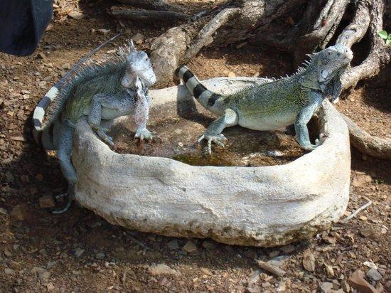 Mount Christoffel: Iguana Pool at Christoffel base parking lot