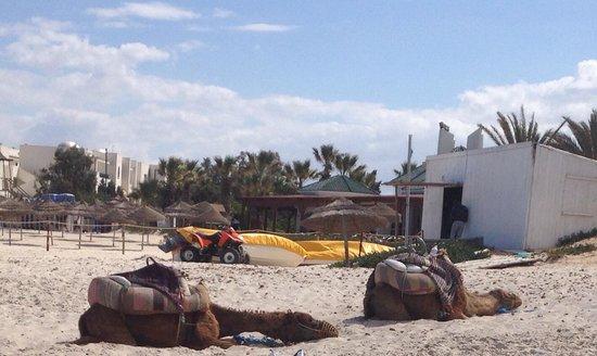 Iberostar Diar El Andalous : Camels snoozing