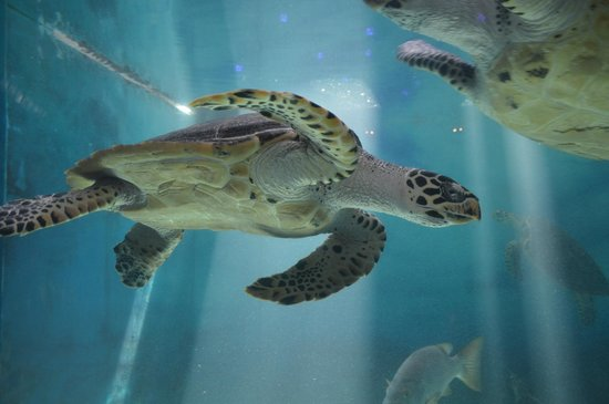 Acuario Mazatlan: Tortuga en el acuario Mazatlán