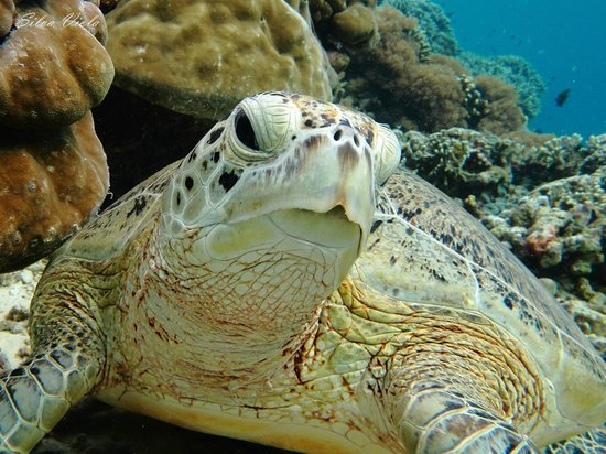 Sipadan Mabul Resort: A lot of wonderful turtles there!!