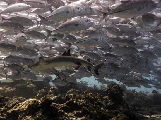 Sipadan Mabul Resort : Dive spot: Barracuda Point - Sipadan