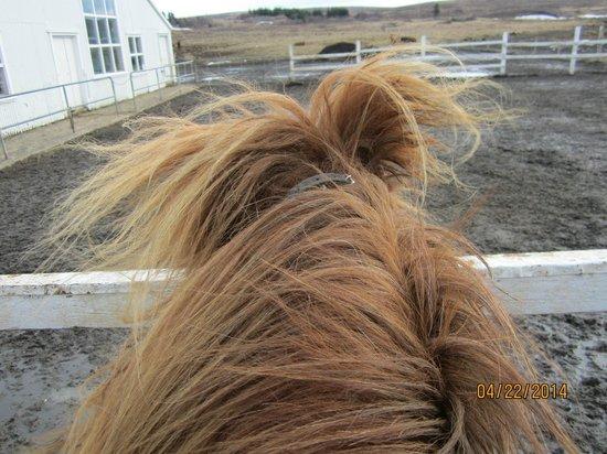 Laxnes Horse Farm : Birna the horse
