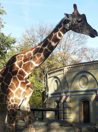 Tierpark: Giraffe und nettes Gebäude