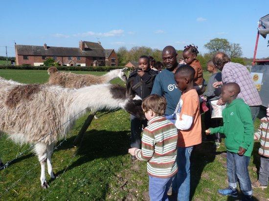Lower Drayton Farm: Feeding animal