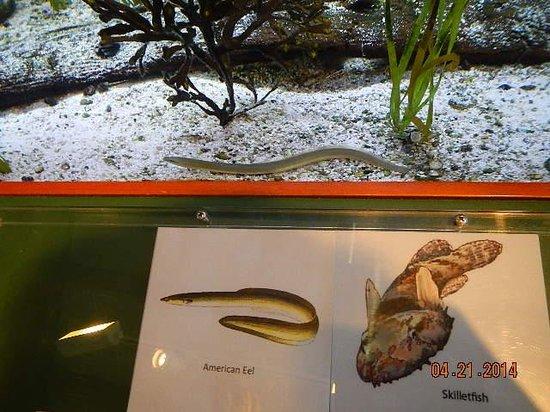 Assateague Island National Seashore: water eel