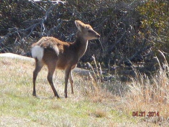 Assateague Island National Seashore : Sitka deer