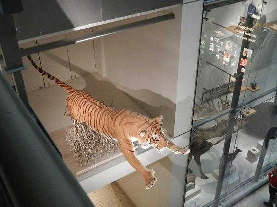 National Museum of Natural History : tiger