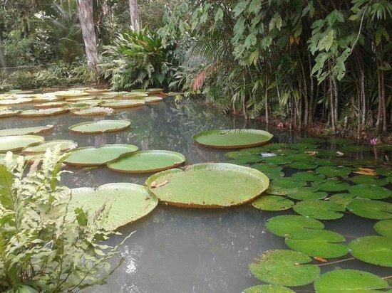 Museu Paraense Emílio Goeldi: Lagoa com vitória regia