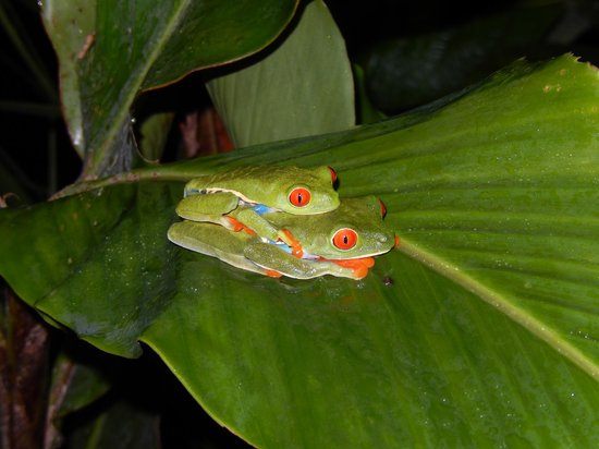 Arenal Volcano (Volcan Arenal) : Gaudy tree frogs caught in action