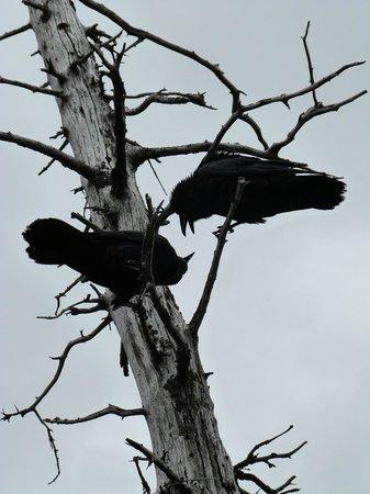 Alaska Wildlife Conservation Center: Ravens