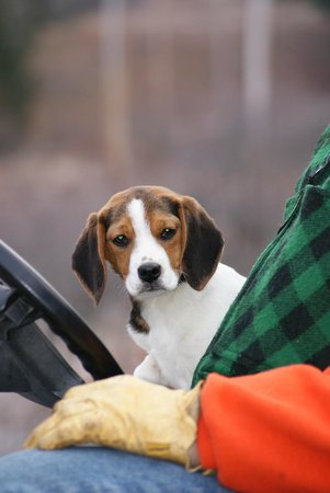 Pine Grove Lodge and Cabins: One of our sweet beagles