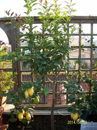 Hotel Diana Roof Garden : Lemon tree on the garden terrace
