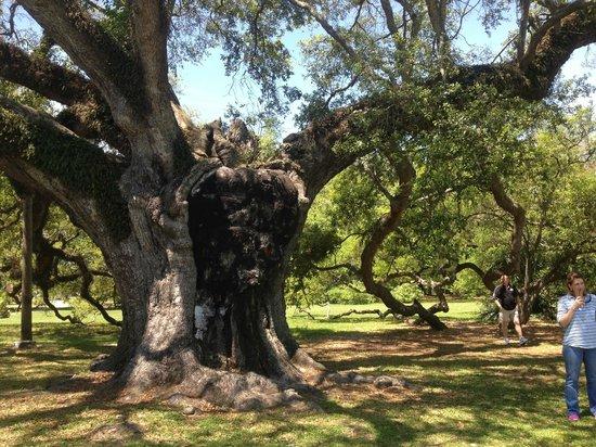FreeWheelin' Bike Tours : 800+ year old oak tree in park we visited