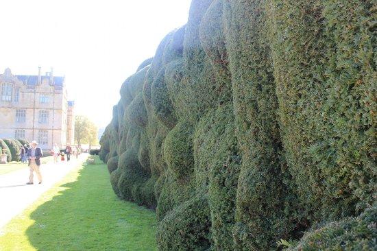 Montacute House: An unusual hedge