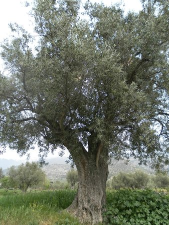 Olive Oil Tour : Olivo de 300 años