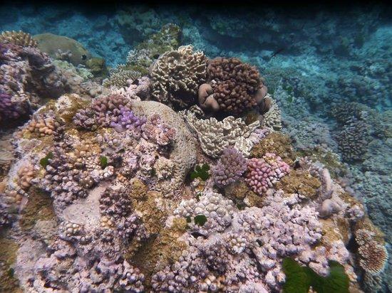 Lizard Island Resort: corals