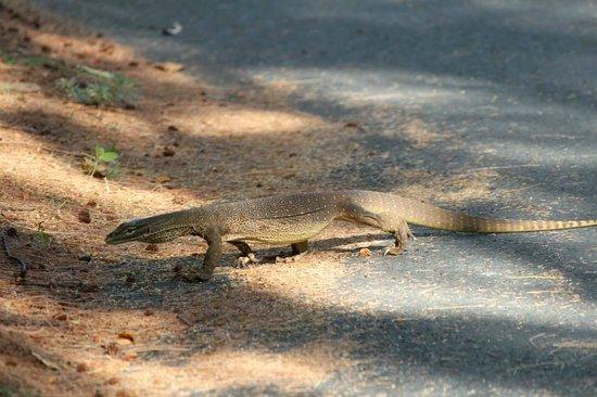 Lizard Island Resort: Lizards