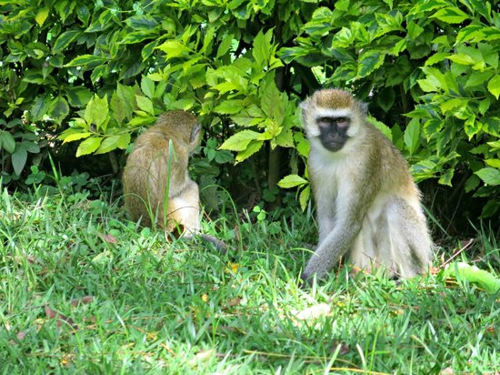 Gisakura Guest House: Vervet monkeys in the garden