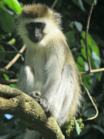 Gisakura Guest House: A vervet monkey in the neighbouring forest