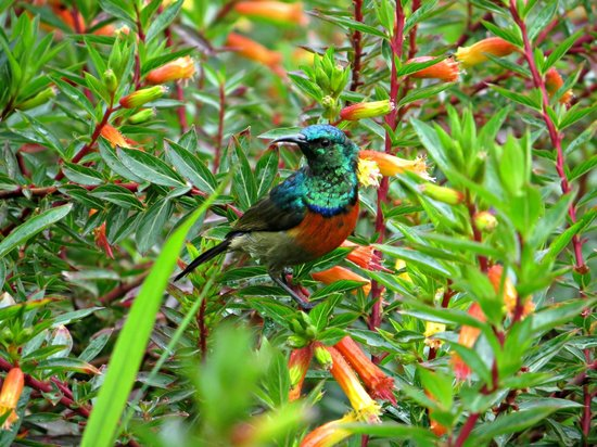 Gisakura Guest House: A sunbird in the garden