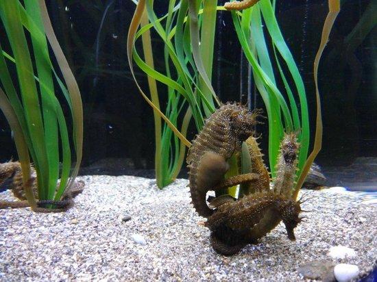 Sea Life Aquarium : Braune Seepferdchen