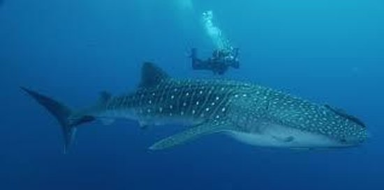 Sunny Side Tours: Diver with Whale Shark