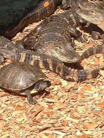 Suncoast Primate Sanctuary Foundation, Inc.: Baby Gators