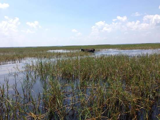 "Wild Willy's Airboat Tours : We saw ""swamp cows"""