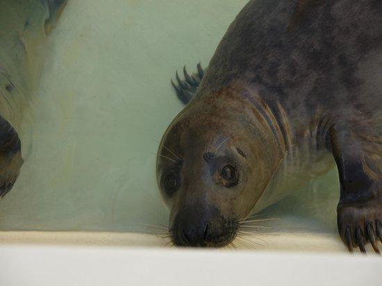 Aquarium de Biarritz : Phoque curieux
