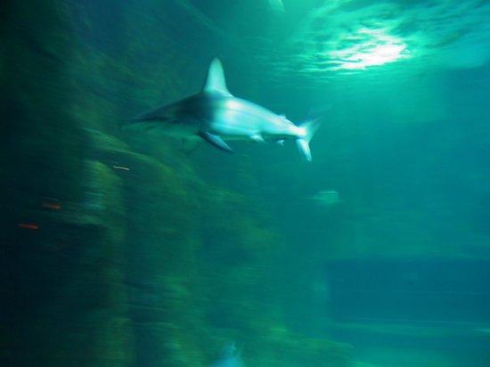 Aquarium de Biarritz : Requin