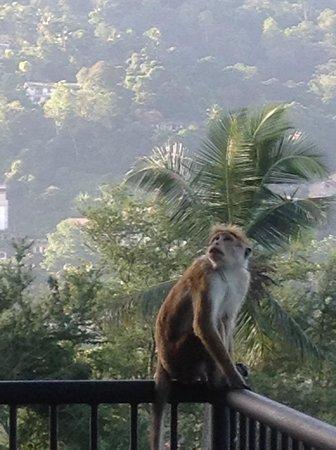Hotel Thilanka: singe sur notre terrasse pas gêné du tout