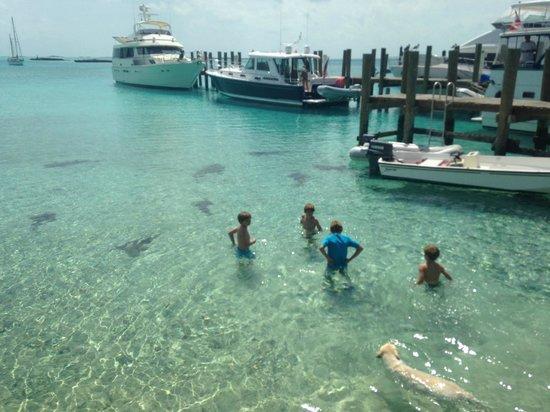 Staniel Cay Yacht Club : Nurse sharks at SCYC