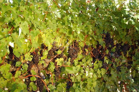 Hafner Vineyard: Grapes also ready to pick!