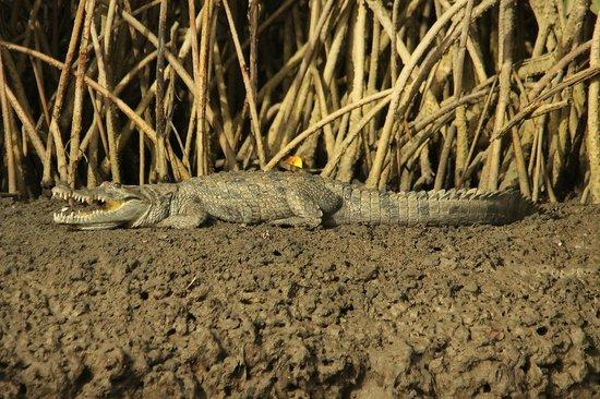 Mandina River Lodge: Crocodile from canoe trip