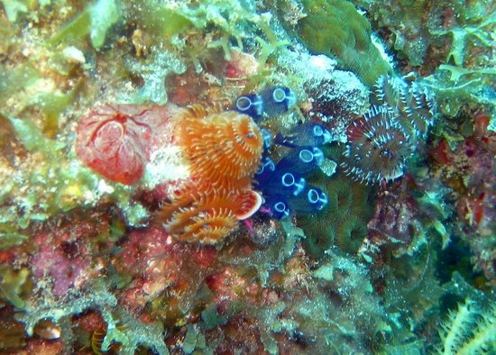 Blue Island DIvers : Christmas Tree Worms