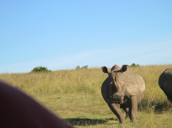 Rippon's Safari Lodge: White Rhinos