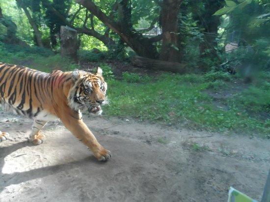 Zoologischer Garten Frankfurt/Main: Tigre