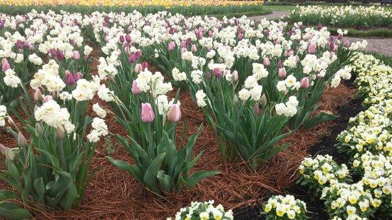 Biltmore Estate : ...and more tulips