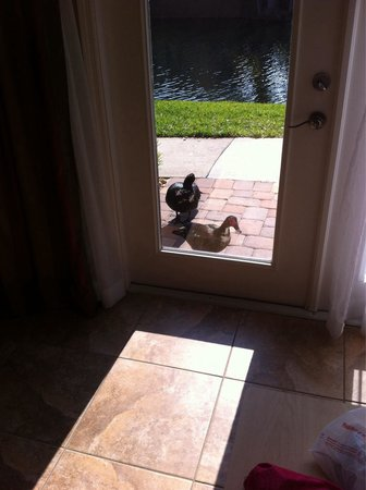Legacy Vacation Resorts: The ducks coming to are patio door for lunch!!!!!