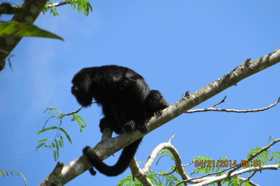 Black Orchid Resort: Howler monkey in the trees above hotel entrance