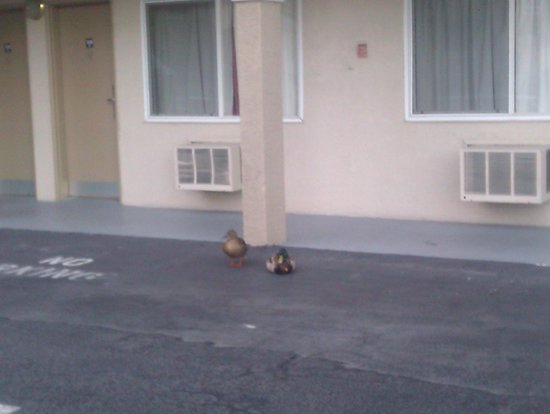 Americas Best Value Inn - Oakland / Lake Merritt : ducks from the lake in the parking lot