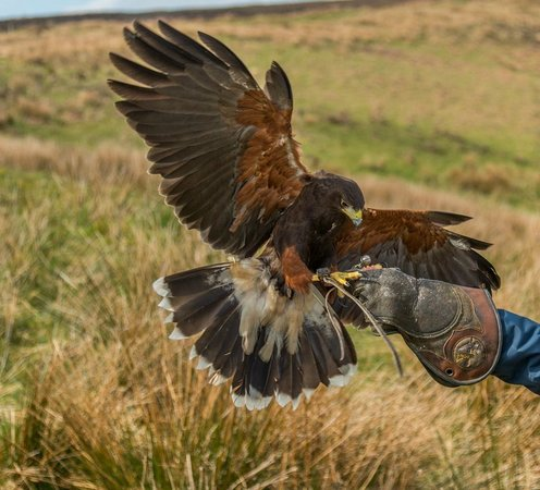 North Devon Hawk Walks: great experience