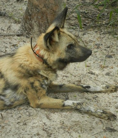 Painted Dog Conservation: rescued painted dog fitted with collar